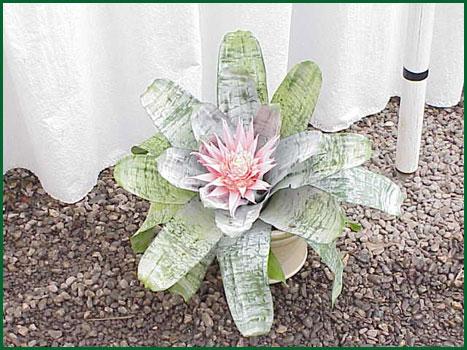 Bromeliad Achmea Fasciata