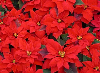 Bright Red Seasonal Flowers