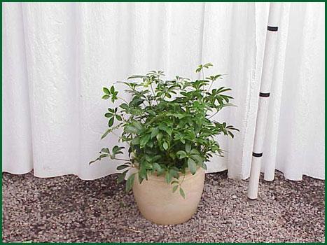 10-12 Inch Upright Arboricola Green