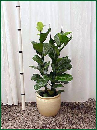 10-12 Inch Upright Ficus Lyrata Column