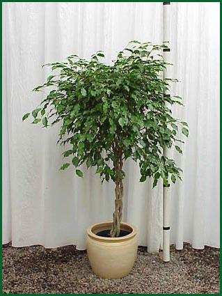 10-12 Inch Upright Ficus Monique Braid
