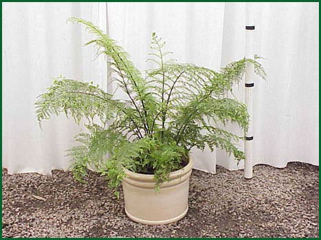 10-12 Inch Upright Mother Fern