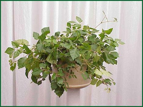 8 Inch Hanging Cissus Grapeleaf