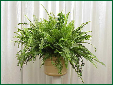 8 Inch Hanging Fern Kimberly Queen