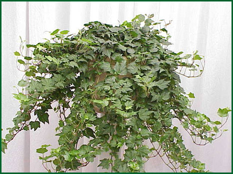 8 Inch Hanging Hederal Ivy
