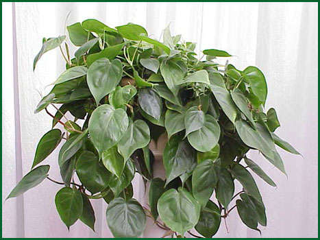 8 Inch Hanging Philodendron Cordatum