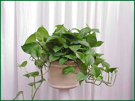 8 Inch Hanging Pothos Jade
