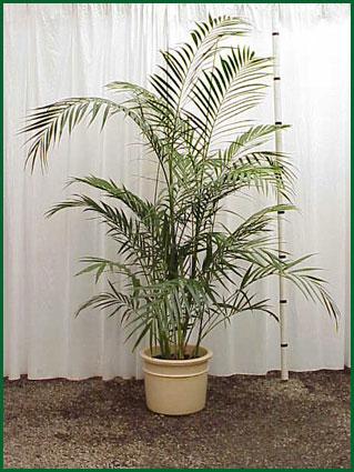 Chamaedorea Maya Palm