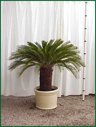 Sago Palm With Trunk