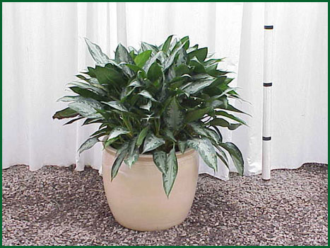 14 Inch Upright Aglaonema Jubilee