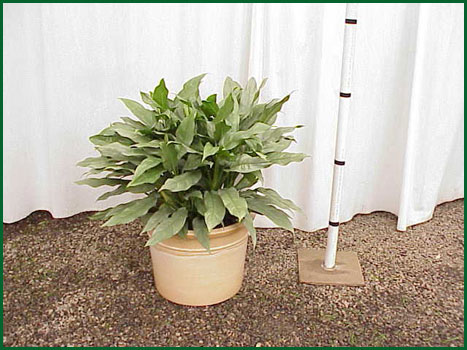 14 Inch Upright Aglaonema Sterling