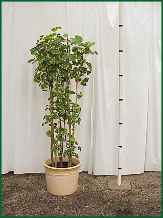 14 Inch Upright Aralia Balfour Variegated