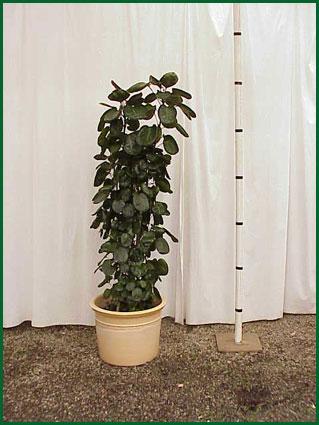 14 Inch Upright Aralia Balfour