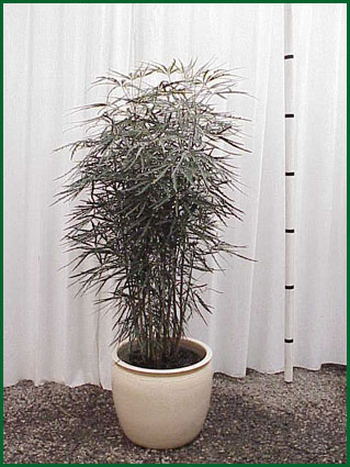 14 Inch Upright False Aralia