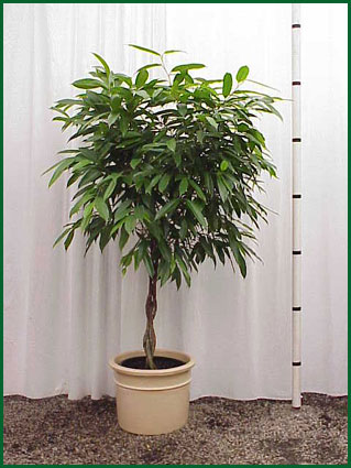 14 Inch Upright Ficus Amstel King Braid
