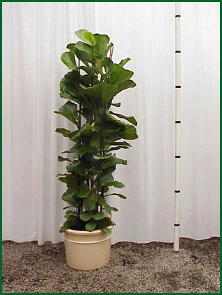 14 Inch Upright Ficus Lyrata Column