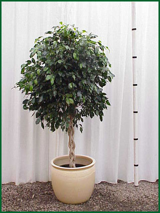 14 Inch Upright Ficus Midnight Braid