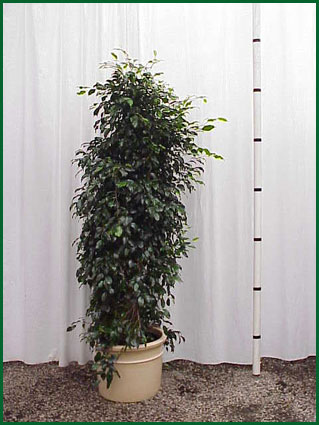 14 Inch Upright Ficus Midnight Column