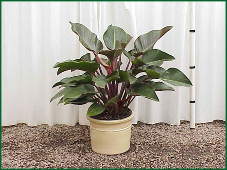 14 Inch Upright Philodendron Cong Rojo