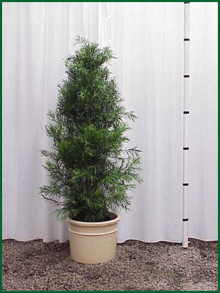 14 Inch Upright Podocarpus Gracilior