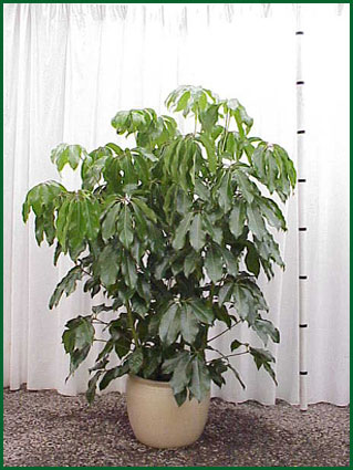 14 Inch Upright Schefflera Amate