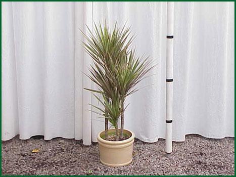 8 Inch Upright Dracaena Tricolor