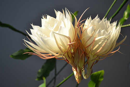 Night Blooming Orchid Cactus Epiphyllum 3