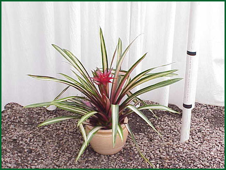 Bromeliad Guzmania Firecracker