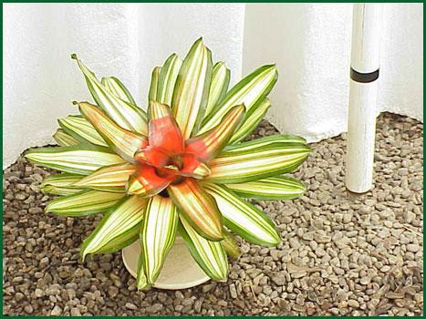 Bromeliad Neoregelia Devaroe
