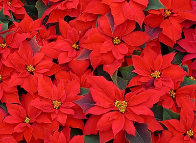 Bright Red Seasonal Flowers