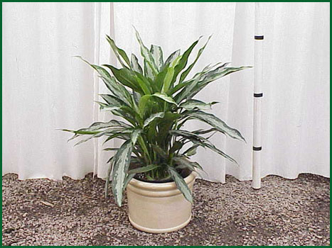 10-12 Inch Upright Aglaonema Black Lance