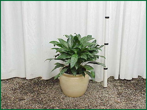 10-12 Inch Upright Aglaonema Green Lady
