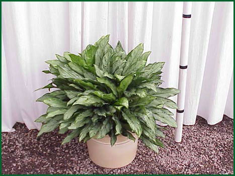 10-12 Inch Upright Aglaonema Jewel Of India