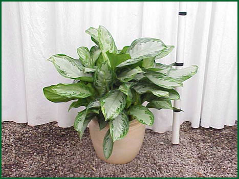 10-12 Inch Upright Aglaonema Silver Bay
