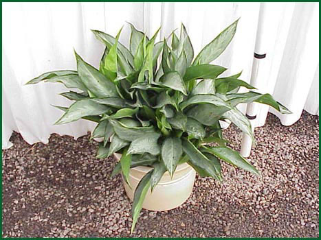 10-12 Inch Upright Aglaonema Silverado