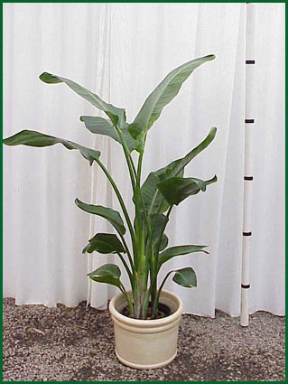 10-12 Inch Upright Bird Of Paradise