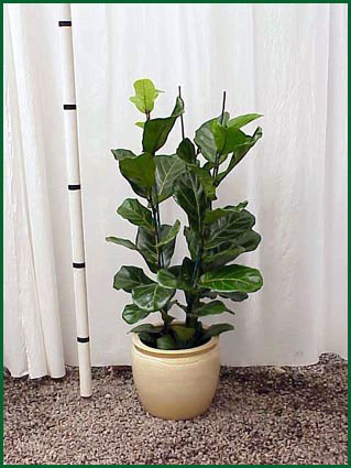 10-12 Inch Upright Ficus Lyrata Column
