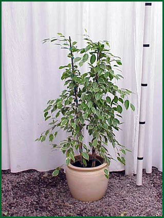 10-12 Inch Upright Ficus Variegated Column