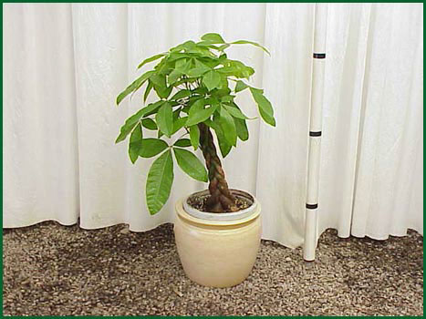 10-12 Inch Upright Pachira Braid Money Tree