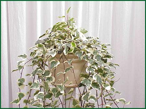 8 Inch Hanging Algerian Ivy Variegated