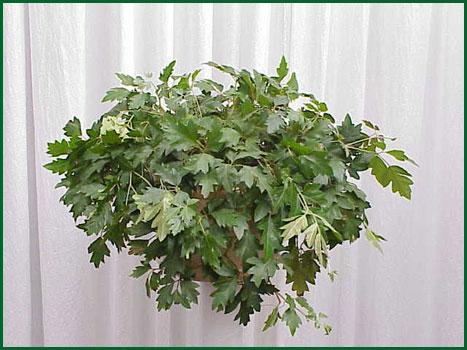 8 Inch Hanging Cissus Oakleaf