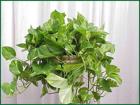 8 Inch Hanging Pothos Golden