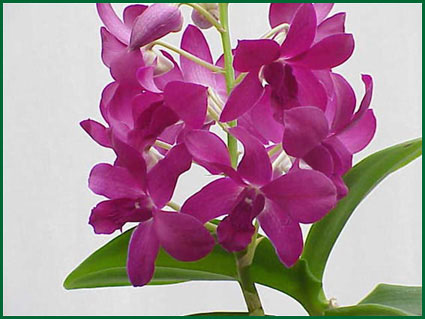Orchid Dendrobium Purple Flower