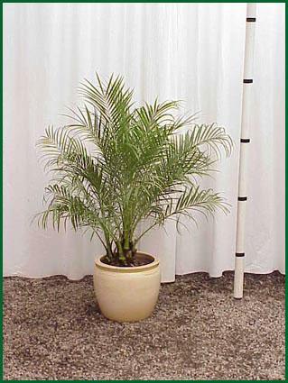 Phoenix Roebelini Palm