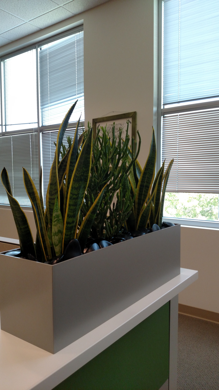 Sansevieria Laurent II