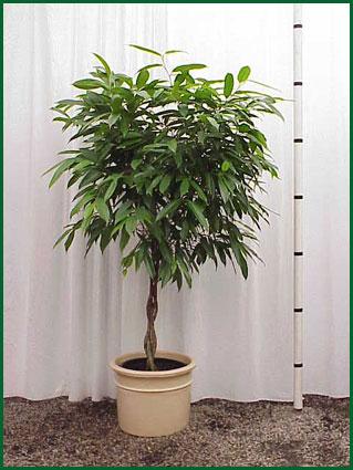 14 Inch Upright Ficus Amstel King Braid