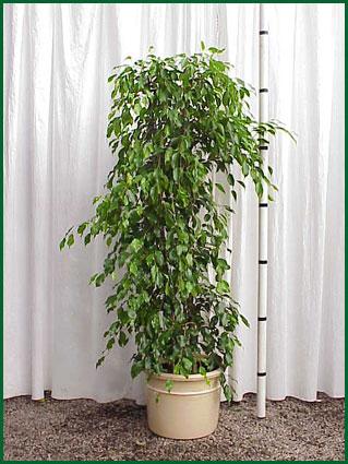 14 Inch Upright Ficus Benjamina Column