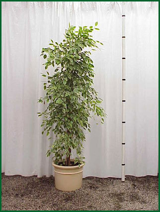 14 Inch Upright Ficus Gold King Column