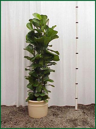 14 Inch Upright Ficus Lyrata Column