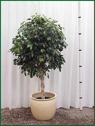 14 Inch Upright Ficus Midnight Braid
